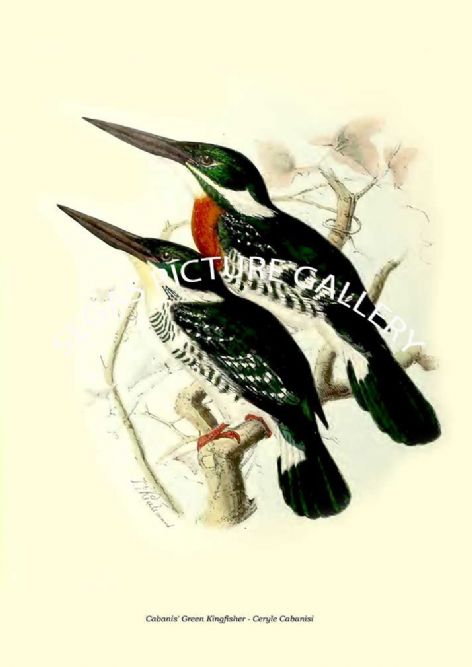 Fine art print of the Cabanis' Green Kingfisher - Ceryle Cabanisi by  the artist Johannes Gerardus Keulemans (1868-1871)